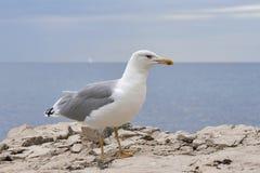 Seagull pozycja na morze kamieniu Obrazy Royalty Free