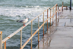 Seagull pozycja na ośniedziałym ogrodzeniu Obrazy Royalty Free