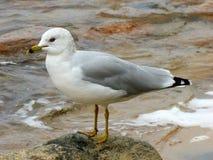 Seagull pozycja na skale Fotografia Stock