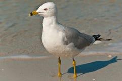 Seagull pozycja na tropikalnej linii brzegowej plaża Zdjęcia Royalty Free