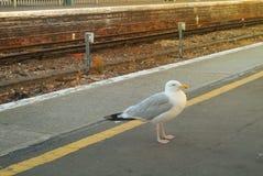 Seagull pozycja przy dworca estradowym pobliskim umysłem przerwy żółta linia przy centrum Easbourne Zdjęcie Royalty Free