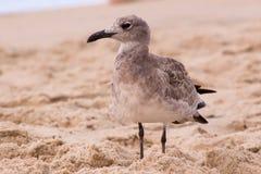 Seagull pozycja w piasku Obraz Royalty Free
