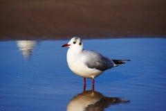 Seagull pozycja w wodzie Obraz Royalty Free