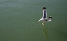 Seagull prawie dotyk niebieskozielona woda przy Czarnym morzem Zdjęcia Royalty Free