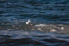 Seagull prawie dotyka rozkisłego lód dostawać nieżywej ryba od jeziora obrazy stock