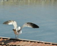 Seagull preparing to fly. A seagull seen from behind extending its wings and preparing to fly above the sea Stock Photography