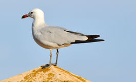 Seagull. Pretty seagull sitting on top of a roof on the blue sky background looking in the sea direction Royalty Free Stock Photography