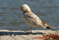 Seagull primping Royalty Free Stock Photos
