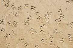 Seagull prints in the sand Royalty Free Stock Images