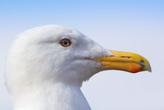 Seagull Profile Close Royalty Free Stock Photo