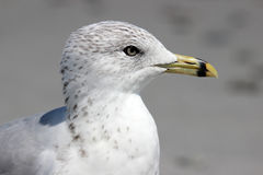 Seagull Profile Royalty Free Stock Images