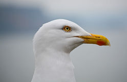 Seagull. A Seagull in profile, looking to the right Royalty Free Stock Photo