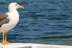 Seagull Bird Profile with Orange Beak and Feet and Ocean Background. Profile of a seagull with ocean water in the background Royalty Free Stock Photos
