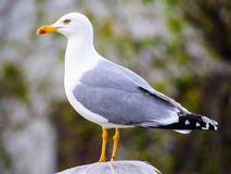 Seagull profile Stock Image