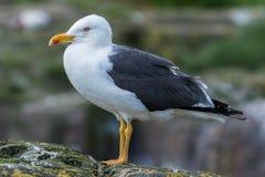 Seagull profilowy portret Zdjęcia Stock