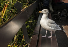 Seagull on Promenade. Seagull standing on bench on a traditional british promenade Royalty Free Stock Image