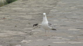 Seagull on the promenade of Varna, Bulgaria stock footage