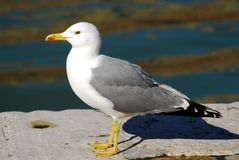 Seagull property in Venezia in Italy Royalty Free Stock Images