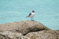 Seagull. Protecting his territory and scavenging for food Royalty Free Stock Photos