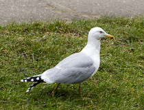 Seagull. Proudly seagull walks on the grass Stock Photo