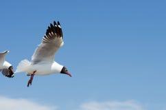 Seagull prowadzić zdjęcia stock