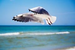 Seagull przód niebo fotografia stock