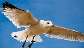 Seagull przeciw niebieskiemu niebu przy Chesapeake plażą, Maryland. Obrazy Stock