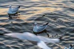 Seagull przy Bangpu, Samut-Prakarn, Tajlandia obraz royalty free