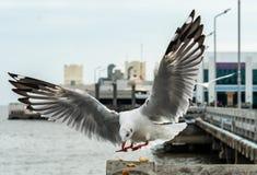 Seagull przy Bangpu, Samut-Prakarn, Tajlandia zdjęcia royalty free