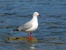 Seagull przy Bellerive Fotografia Stock