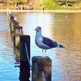 Seagull przy Hyde parkiem, Londyn Zdjęcie Stock