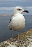 Seagull przy Lagos schronieniem, Algarve, Portugalia Fotografia Royalty Free