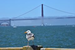 Seagull przy molem i Golden Gate Bridge Fotografia Royalty Free