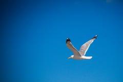 Seagull przy niebem Zdjęcie Royalty Free