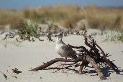 Seagull przy plażą obrazy stock