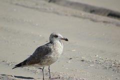 Seagull przy plażą zdjęcie stock