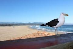 Seagull przy Plett obrazy royalty free