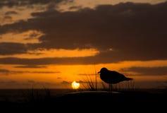 Seagull Przy zmierzchem fotografia royalty free