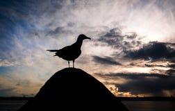 Seagull przy zmierzchem Obrazy Royalty Free
