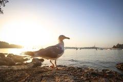 Seagull przy zmierzchem Obrazy Stock