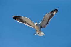 Seagull przybycie wewnątrz dla lądowania Fotografia Royalty Free
