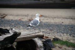 Seagull Przyglądający morze out Obrazy Stock