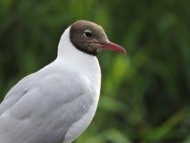 Seagull ptak, Lithuania obraz stock