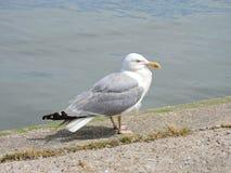 Seagull ptak, Lithuania zdjęcie stock