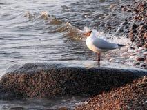 Seagull ptak na dużym kamieniu na morza bałtyckiego wybrzeżu, Lithuania zdjęcie stock