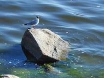 Seagull ptak na kamiennym pobliskim morzu, Lithuania fotografia royalty free