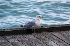 Seagull ptak na quay Zdjęcia Stock