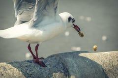 Seagull ptak w Tajlandia rocznika secie Zdjęcia Royalty Free