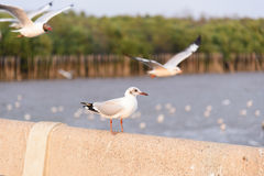 Seagull ptaka morze Fotografia Royalty Free