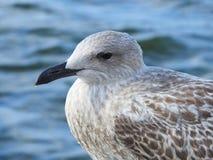 Seagull ptaka portret zdjęcie royalty free